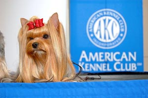 Why Does My Yorkie Bark At Bedtime American Kennel Club