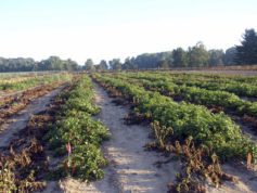 This 2013 photo taken at Michigan State University in East Lansing, Mich., and supplied by J.R. Simplot Company shows wilted conventional potato plants without resistance to the pathogen that caused the Irish potato famine on the left next to surviving rows of J.R. Simplot Co.'s genetically engineered potato plants that resist the disease. The U.S. Department of Agriculture announced Friday, Oct. 28, 2016, that it has approved commercial planting of two types of potatoes that are genetically engineered to resist the pathogen that caused the Irish potato famine. (Nicolas Champouret/J.R. Simplot Company via AP)