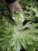 This undated photo shows blanched endive in New Paltz, N.Y. Planted close together, endive's outer leaves fold up to keep light from inner leaves, making them sweet and tender. (Lee Reich via AP)