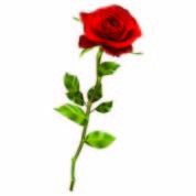 Realistic red rose. EPS 10 vector file included