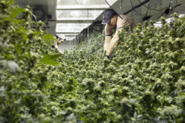on Monday April 13, 2015 at the Colorado Harvest grow facility. (Photo by Gabriel Christus/Aurora Sentinel)