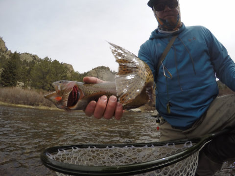 Nate McCord holds a cutbow in the Eleven Mile Canyon on the South Platte River.