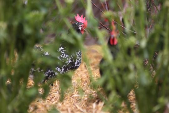 20150626-Chickens-Aurora, Colorado