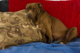 Ginger enjoys a spot on a couch Nov. 10 at DMK Rehoming. The shelter DMK is not able to take in all of the pit bulls relinquished by owners who live in city limits. In November, Aurora voters upheld the city's nearly decade-long pit bull ban by a 2-to-1 margin. (Marla R. Keown/Aurora Sentinel)