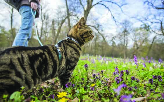Black and brown striped British cat in park with owner