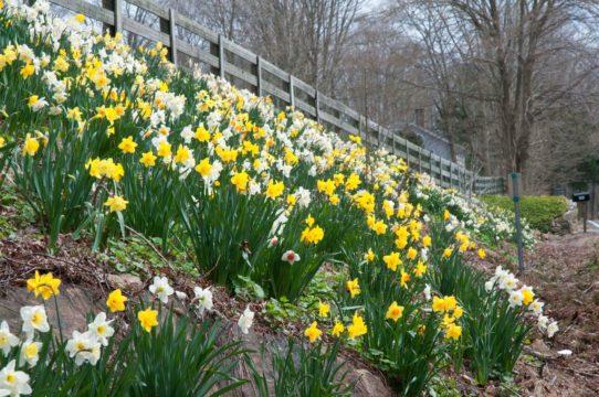 Gardening Roadside Daffodils