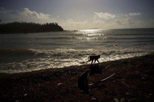 APTOPIX Puerto Rico Monkey Island