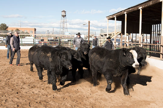 Ranchers from the Kearns Cattle Company in Rushville, NE, exercise their Simmental Cattle in an open ring at the National Western Complex Stock yards, Jan. 9 during the 112th annual National Western Stock Show.Photo by Philip B. Poston/Aurora Sentinel