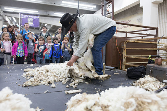 Bob Schroth shears a sheep in the Education Building for attendees of the 112th National Western Stock Show Bob has been shearing sheep at the Stock Show for 10 years and has been shearing sheep as a profession for over 30 years. Photo by Philip B. Posto