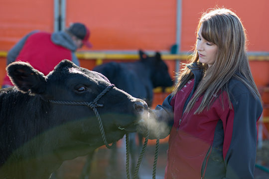 Brooke Vincent, from Circle, MT, waits to wash her Black Angus beef cow, at the National Western Complex Stock yards, before sending it to auction, Jan. 9 during the 112th annual National Western Stock Show.Photo by Philip B. Poston/Aurora Sentinel