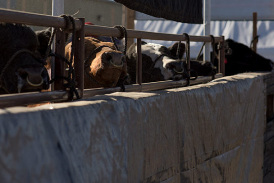 Beef cattle line up to get washed in their pen at the National Western Complex Stock yards Jan. 9 during the 112th annual National Western Stock Show.Photo by Philip B. Poston/Aurora Sentinel