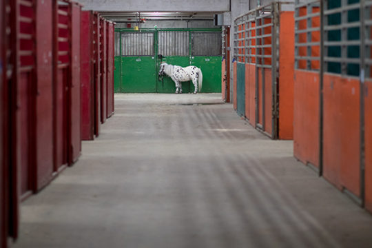 A Shetland Pony stands outside of it's pen in the National Western Complex Education building, Jan. 9 during the 112th annual National Western Stock Show. Photo by Philip B. Poston/Aurora Sentinel