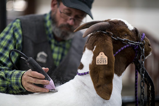 Calvin Copeland shaves away any loose strands on his goat before taking it to auction, Jan. 9 at the 112th annual National Western Stock Show. Calvin has been competing in the stock show, with goats and cattle, for over 40 years. Photo by Philip B. Posto