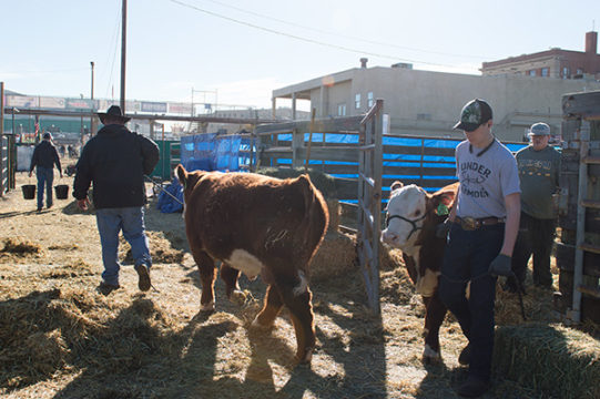 Ranch hands walk beef cattle from a pen in the stockyards at the National Western Complex, Jan. 9 during the 112th National Western Stock Show.Veronica L. Holyfield/Aurora Sentinel