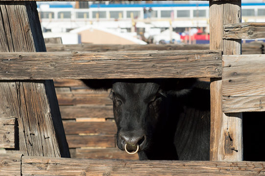 A Black Angus beef cow peeks through his pen in the stockyards at the National Western Complex, Jan. 9 during the 112th National Western Stock Show.Veronica L. Holyfield/Aurora Sentinel