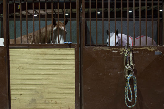 Two horses peek out from their pen at the National Western Complex, Jan 9 during the 112th National Western Stock Show.Veronica L. Holyfield/Aurora Sentinel