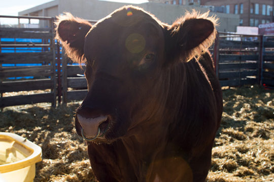 A Red Angus beef cow basks in the sun shining in his pen in the stockyards at the National Western Complex, Jan 9 during the 112th National Western Stock Show.Veronica L. Holyfield/Aurora Sentinel