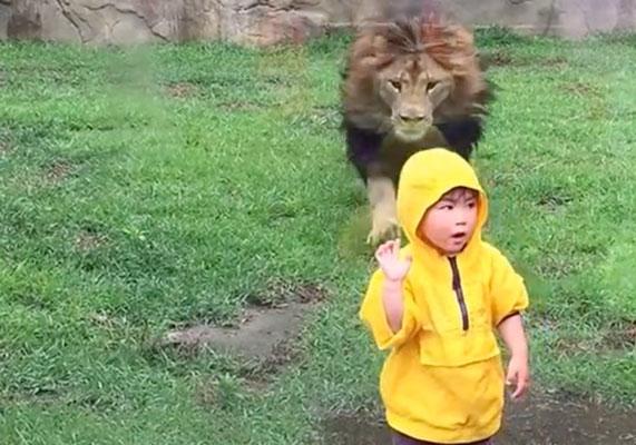 Չինաստանում առյուծը հարձակվել է երեխայի վրա (տեսանյութ)