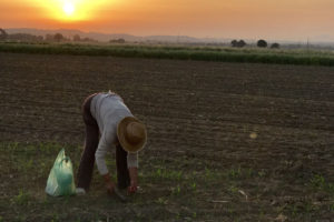 Woman working during sunset in a field on the camino.
