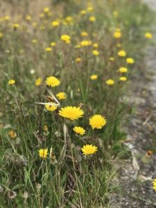 Dancing dandelions from the gusts of wind on the Camino Portuguese.