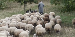 shepherd-sheep1