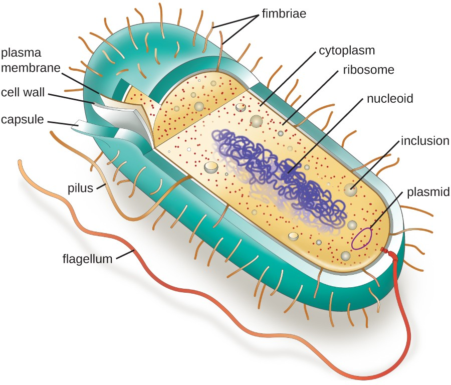 Bacterial cell diagram