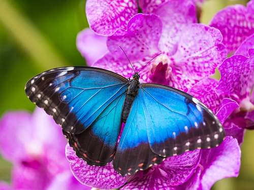 Blue morpho butterfly of the month 1