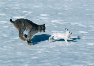 chain of lynx and drove of hares