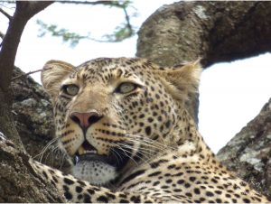 Leopardontree
