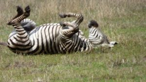 zebra taking a dust bath in Africa