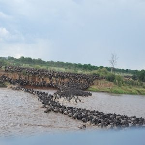 Wildebeest on the Banks