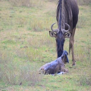 WildebeestNewborn