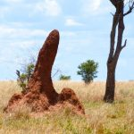 Sand Castles in the African Bush, Termite Mounds