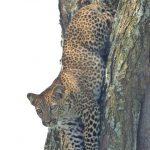 leopard_climbing_down_tree