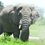 Elephant, African Safari