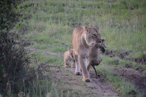 Lion, African Safari, Okavango Delta, Botswana