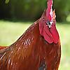 Murano Chicken Farm
