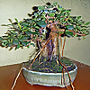 Bonsai in Hoosierland