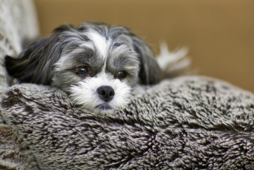 Dog relaxing on a furry pillow, Winnipeg, Manitoba, Canada