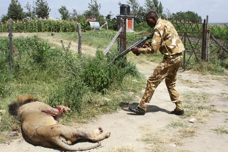A ranger of Kenya Wildflife Serive (KWS) shoots a lion after the feline ran away from the Nairobi National Park in Nairobi on March 30, 2016. / AFP / STRINGER
