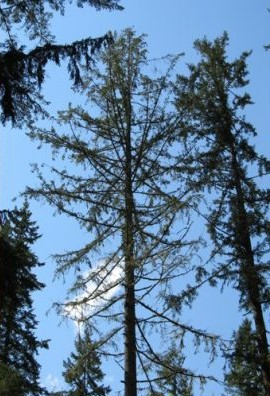 An evergreen tree with thinning foliage