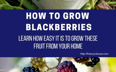 DIY HOW TO GROW BLACKBERRIES