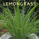 Secrets of Growing Lemongrass