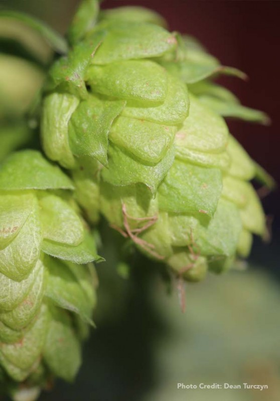 DIY-hop-oast-featured