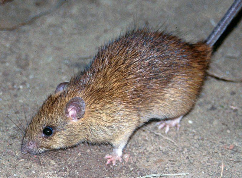 The Black Rat: A true weapon of mass destruction