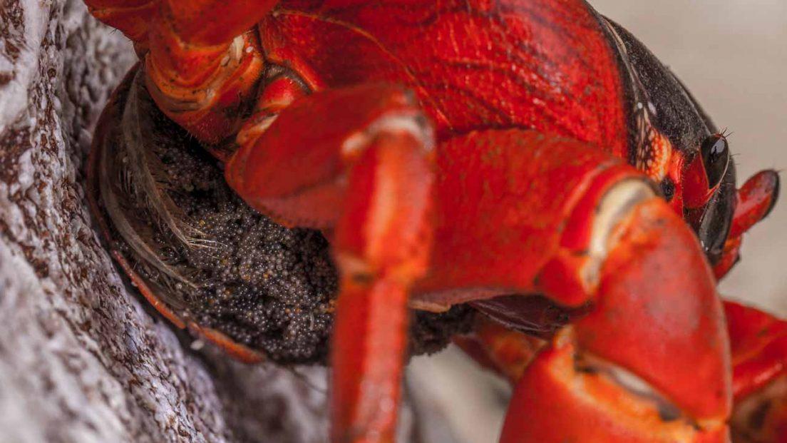 crabs-eggs-closeup