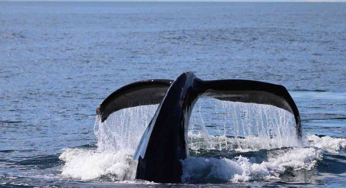 Port Angeles Whale Watching Guaranteed Whales