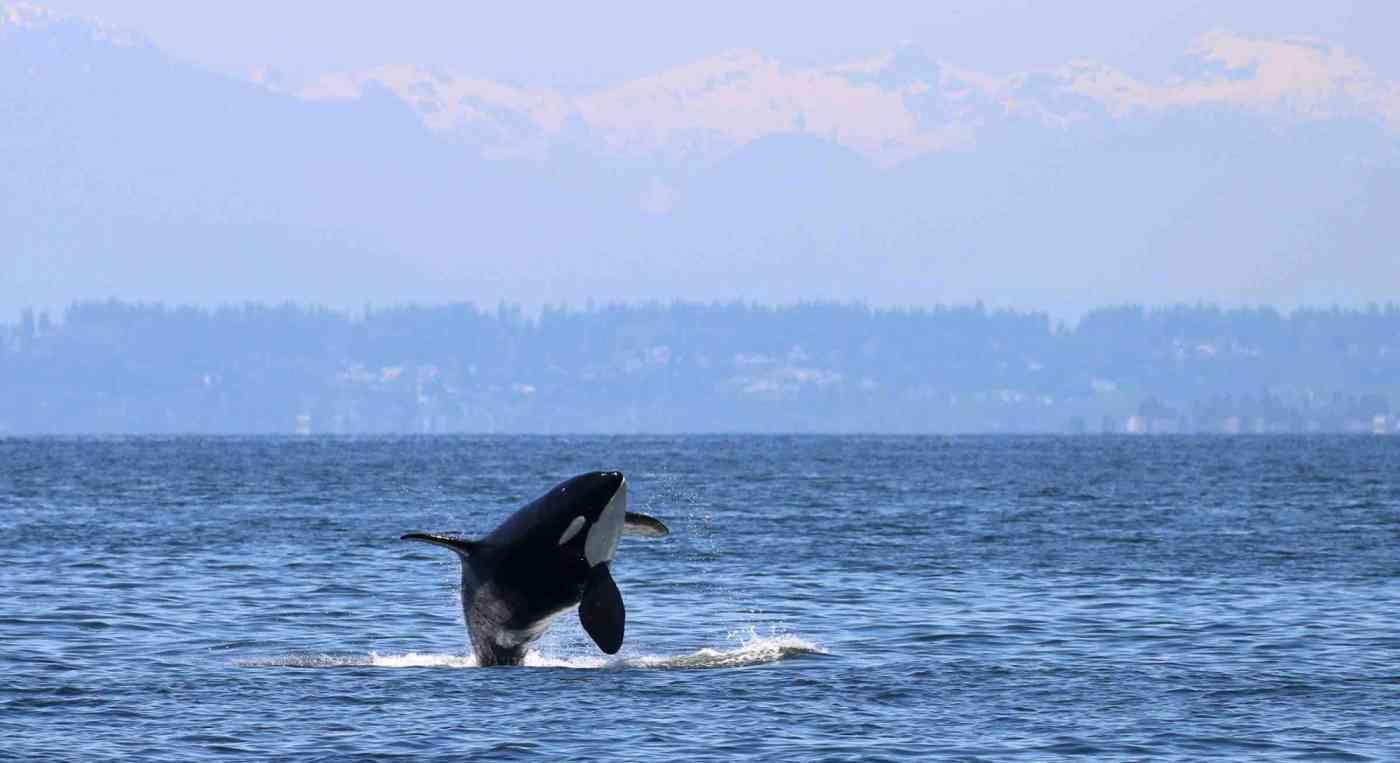 Resident Orca Banner