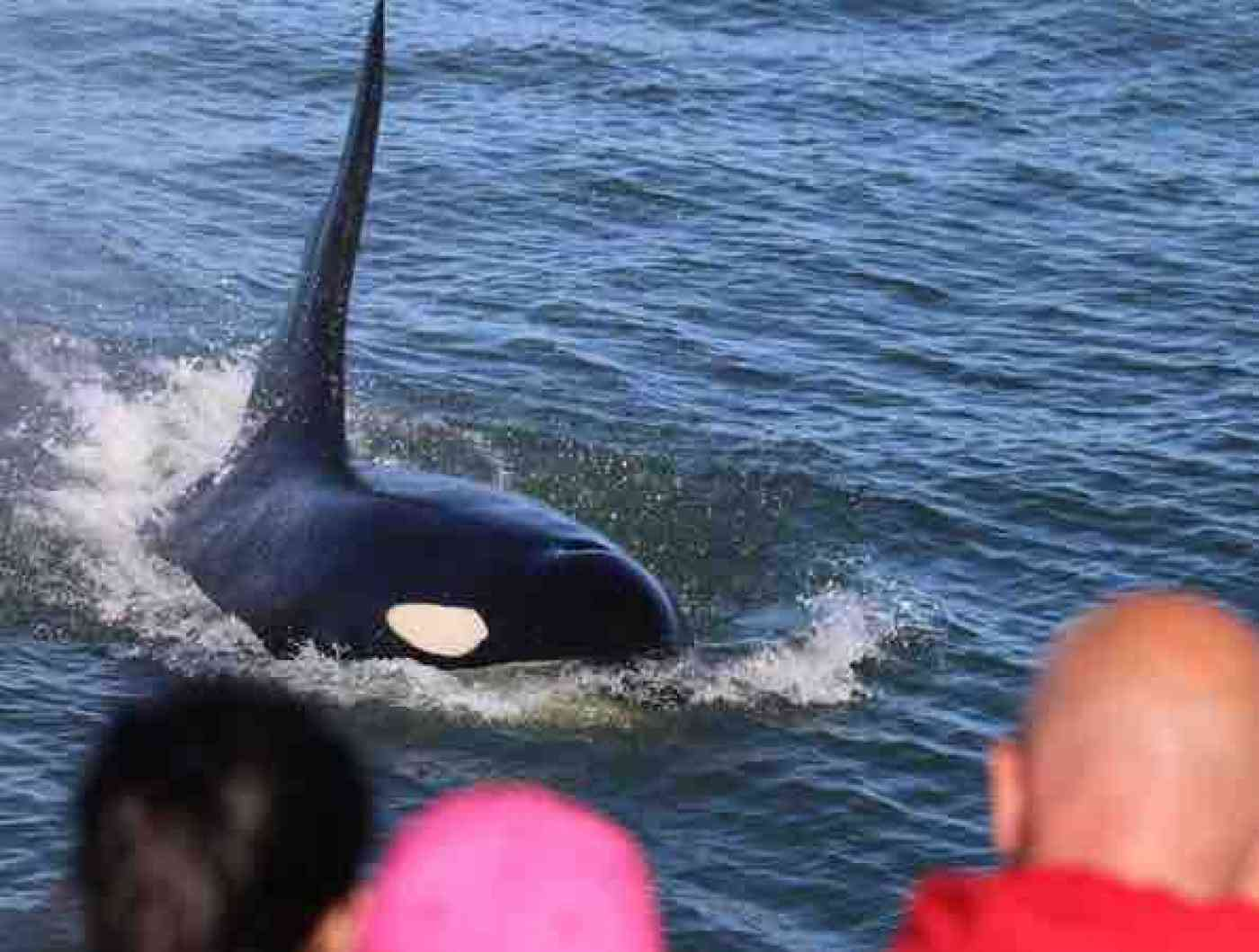 Seattle Whale Watching Killer Whales