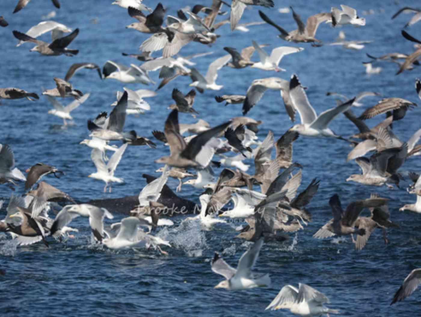 Minke Whales Pic